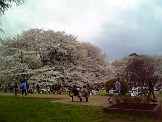 桜が綺麗〜♪